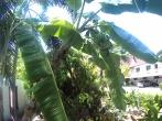 Bananer i vår trädgård